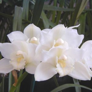 Portuguese Passion 'Snow Blossom' 4N
